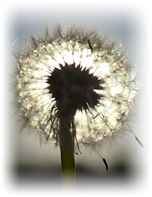 Mindful Meditation. Dandelion_001